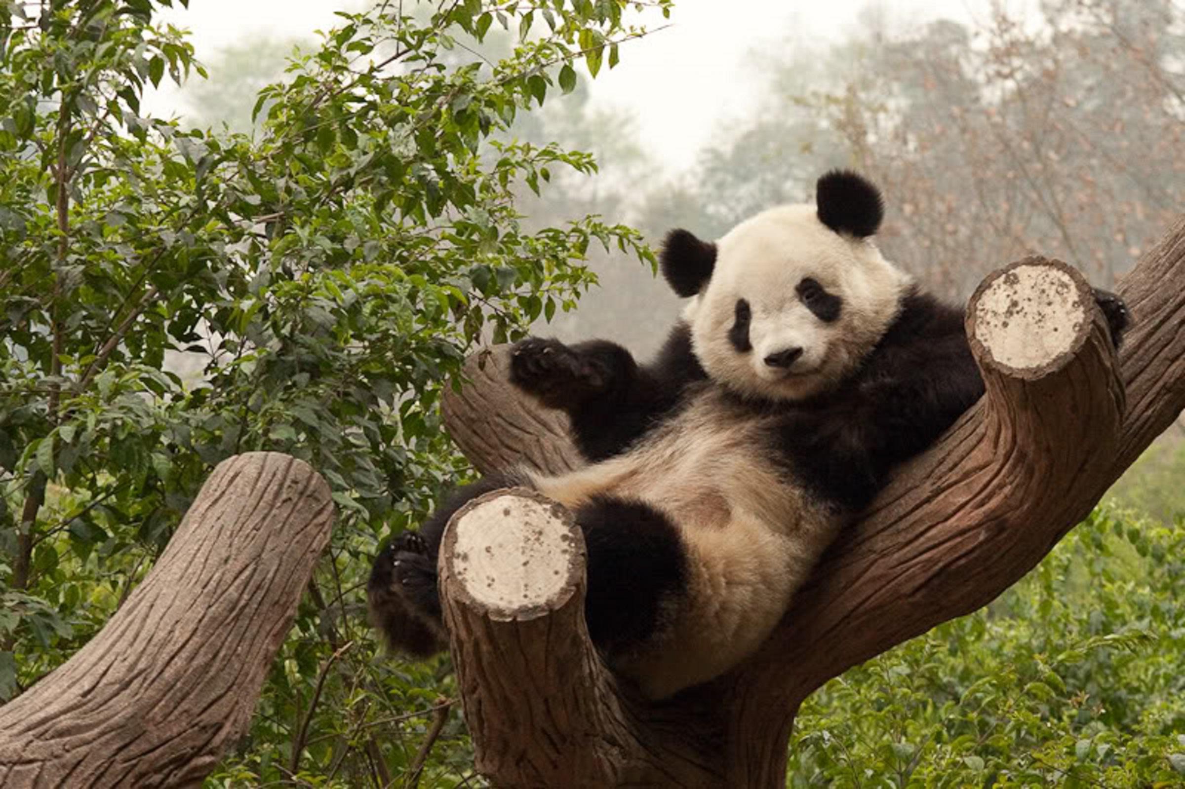 Смешны картинки про панд, береги меня